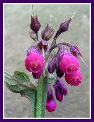 Ancient Medicine: Comfrey